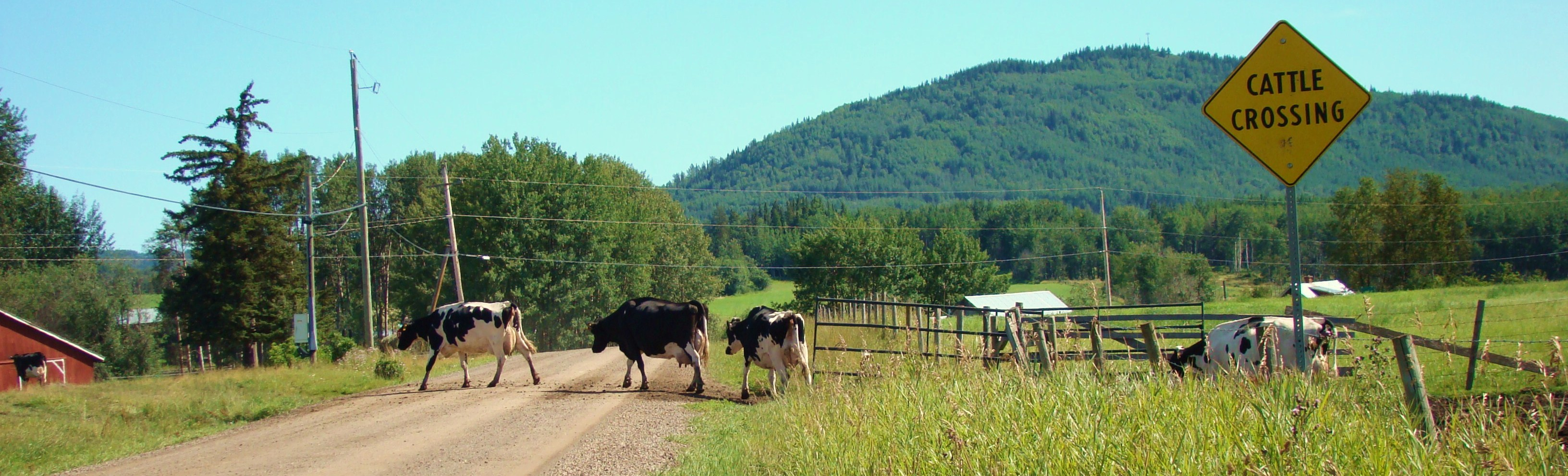 Bulkley-Nechako Dairy Cows - Ministry of Agriculture